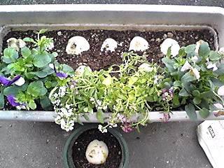 ビオラ、アリッサム、チューリップの寄せ植え