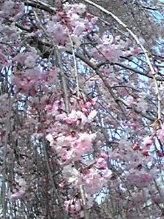 お花見@立川