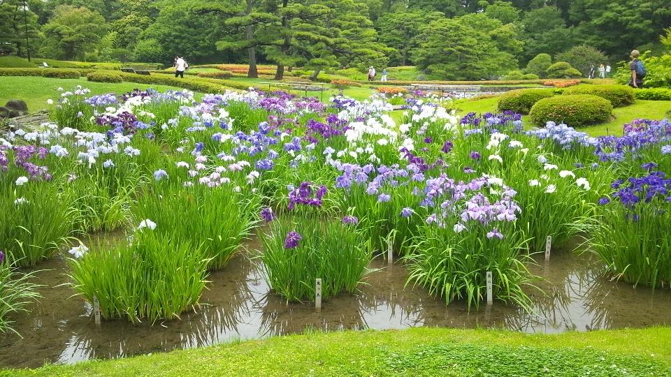 皇居東御苑の花菖蒲